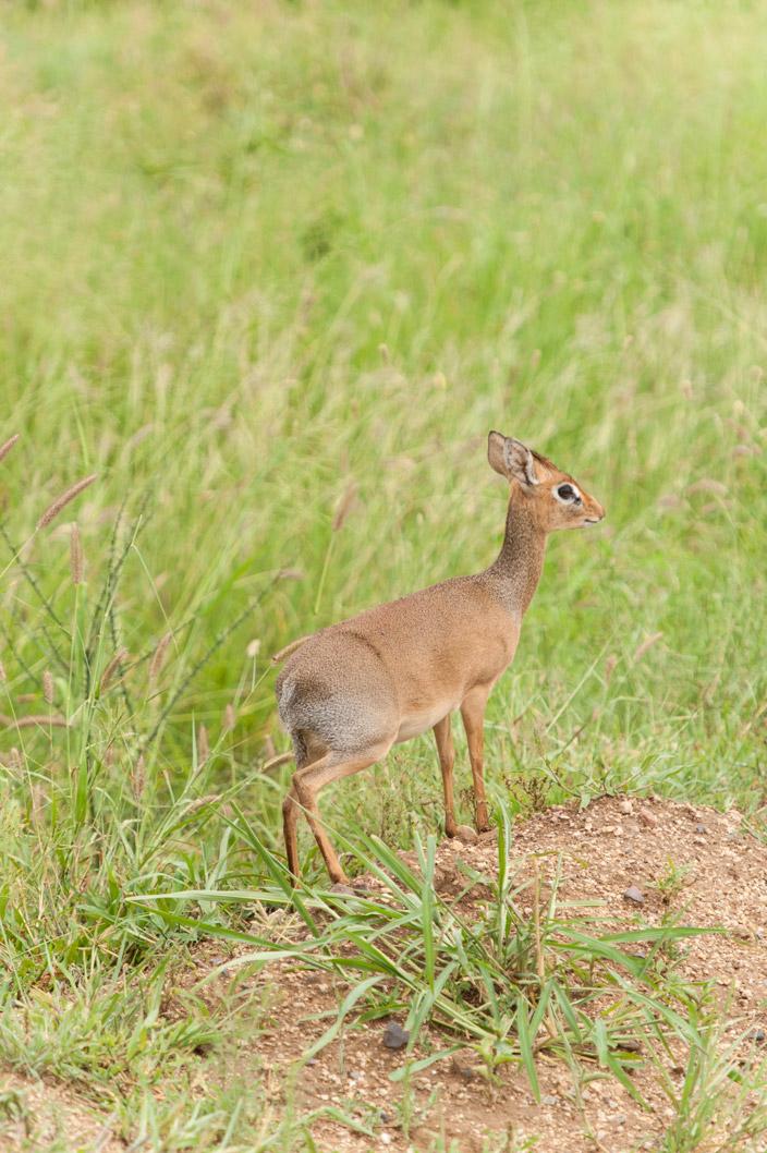 Afrika Tansania Safari DikDik