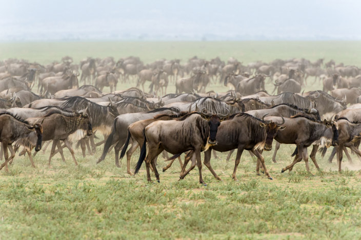 Afrika Tansania Safari Gnu Migration