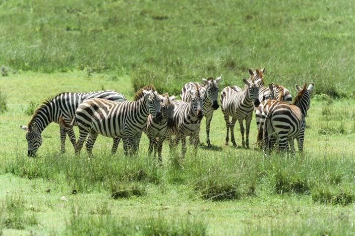 Zebra Serengeti, Tansania