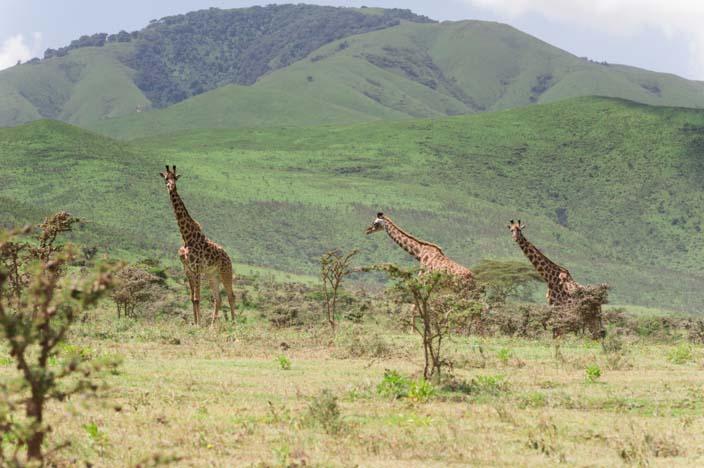 Giraffe Serengeti, Tansania