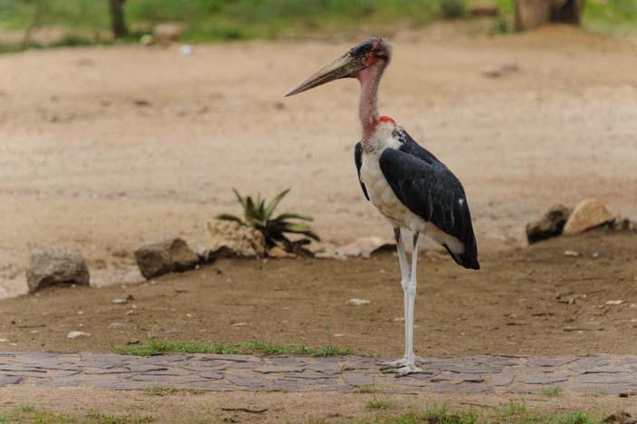 Vogel Serengeti, Tansania