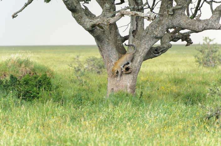 Leopard in der Serengeti, Tansania