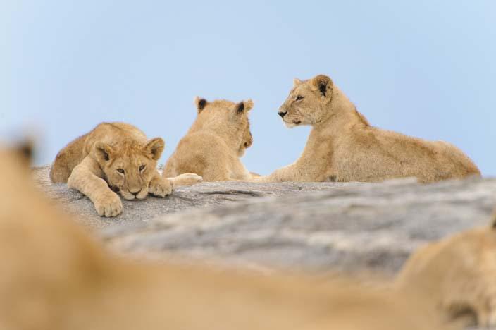 Löwe in der Serengeti, Tansania