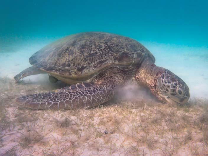 Perhentian Islands Schnorcheln Schildkröte