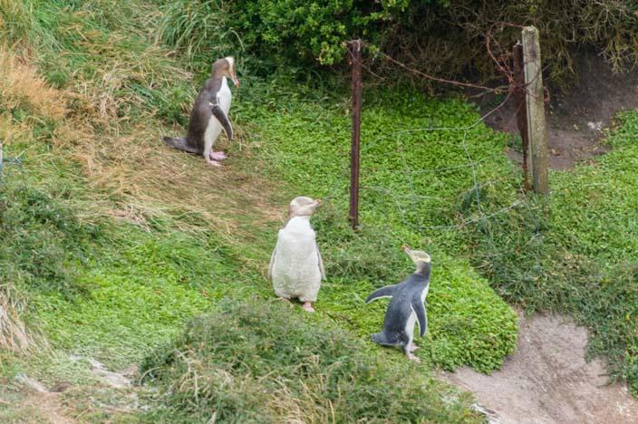 Neuseeland Moeraki Gelbaugen Pinguine