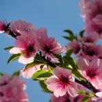 Ausflugstipp: Das Mandelblütenfest in Gimmeldingen in der Pfalz