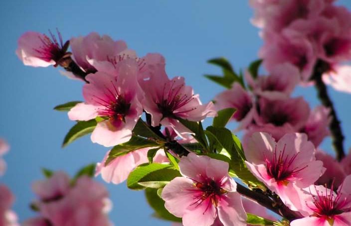 gimmeldingen-pfalz-mandelblütenfest