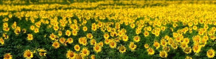 andalusien-sonnenblumenfeld