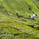 Cameron Highlands: Tee, Scones und grüne Hügel