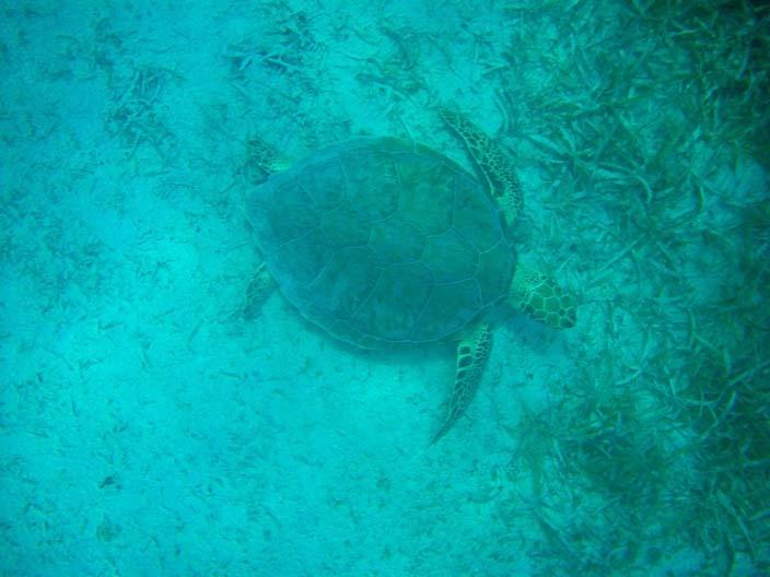 Tauchen-Schnorcheln-Schildkröte-Roya2