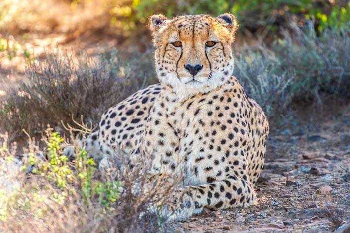 Fotoparade Kwandwe Game Reserve Gepard