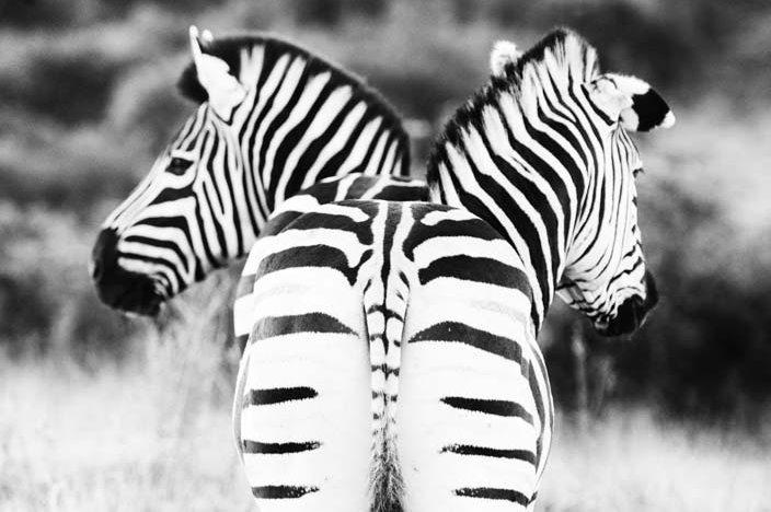 Fotoparade Addo Elephant Park Zebras