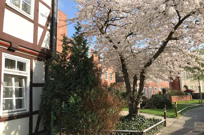 Wolfenbüttel Tipps Kirschblüte mit Fachwerk