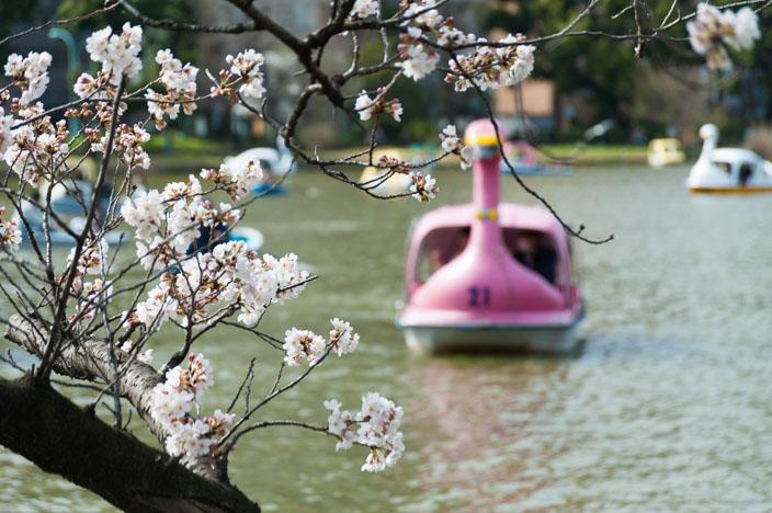 Kirschblüte im Uneo Park am Shiobazu-See mit Leih-Tretbooten in Schwan-Optik