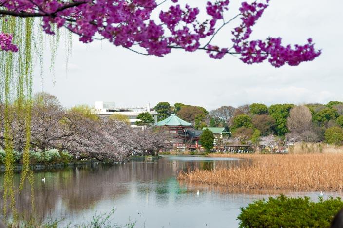Kirschblüte im Uneo Park am Shiobazu-See