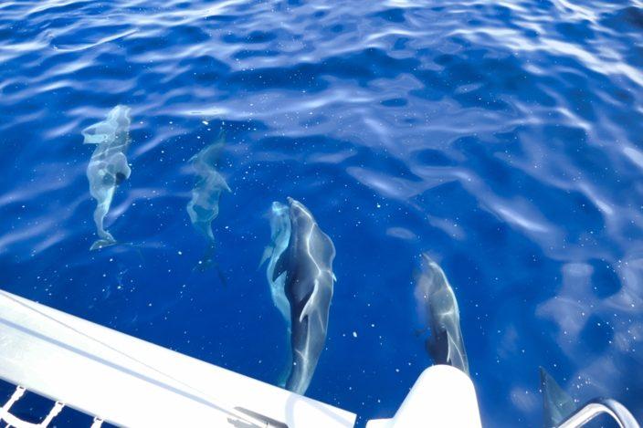 Zwischen Otok Unije und Losinj begegnet uns eine kleine Delfingruppe. Foto: Bernd Oelsner
