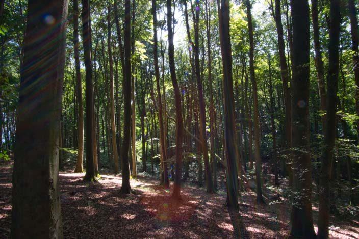 Kreidefelsen Rügen: Buchenwald im Nationalpark Jasmund